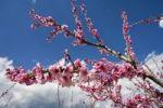 Thumbnail Almond tree Prunus dulcis blossoms, Provence, Southern France, Europe