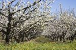 Thumbnail Cherry trees Prunus in bloom, Provence, Southern France, Europe