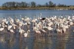 Thumbnail American or Caribbean Flamingos Phoenicopterus ruber, Camargue, Southern France, Europe