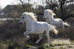 Thumbnail Camargue horses gallopping, Camargue, Southern France, Europe