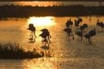 Thumbnail American or Caribbean Flamingos Phoenicopterus ruber at sunrise, Camargue, Southern France, Europe