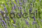 Thumbnail lavender lavandula angustifolia
