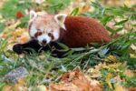Thumbnail Red Panda Ailurus fulgens