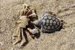 Thumbnail Crab Brachyura with dead Sea Turtle Cheloniidae as prey, Cape York Peninsula, Queensland, Australia