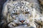 Thumbnail Snow Leopard Uncia uncia, Panthera uncia, portrait