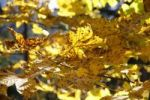 Thumbnail Chestnut leaves in a forest in autumn, Heidelberg, Baden-Wuerttemberg, Germany, Europe