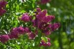 Thumbnail violet lilac