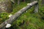 Thumbnail Toppled tree, Tiveden National Park, Sweden, Scandinavia, Europe