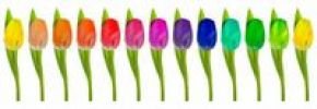 Thumbnail Row of rainbow-coloured Tulips on white