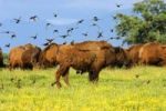 Thumbnail A flock of birds settling on an American Bison Bison bison, in search of vermin in winter coat