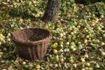 Thumbnail A wicker basket under an apple tree, fallen apples in autumn