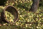Thumbnail A tipped wicker basket under an apple tree, fallen apples in autumn