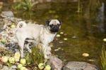 Thumbnail A young pug at a garden pond