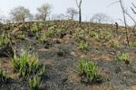 Thumbnail Freshly growing plants after bushfire, Malelane, Mpumalanga, South Africa