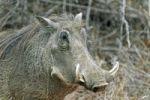 Thumbnail Warthog Phacochoerus africanus, portrait, Kruger National Park, Mpumalanga, South Africa