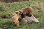 Thumbnail Brown Bear cubs Ursus arctos at play, in an enclosure, Germany, Europe