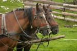 Thumbnail Horses, Muntii Bihor, Bihor Mountains, Parcul Natural Apuseni, Apuseni Natural Park, Romania, Europe