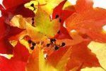 Thumbnail Autumnal grapevine
