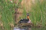 Thumbnail Red-necked Grebe Podiceps grisegena at the nest with chick on its back, British Columbia, Canada, North Amerika
