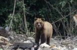 Thumbnail Grizzly Bear Ursus arctos horribilis in a landfill in Alaska, North America