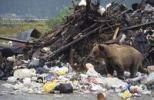 Thumbnail Grizzly Bear Ursus arctos horribilis in a landfill in Alaska, North America