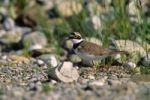 Thumbnail Little Ringed Plover Charadrius dubius