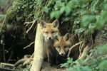 Thumbnail Red Fox Vulpes vulpes, young animals in a burrow
