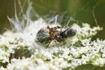 Thumbnail Oak Spider Aculepeira ceropegia, ex Araneus c. with prey