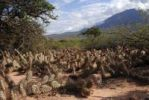 Thumbnail Prickly Pears Opuntia sulphurea in front of mountain panorama, Quebrada del Ro Las Conchas, Cafayate, Salta Province, Andes, Agentina, South America
