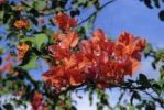 Thumbnail Paper Flower Bougainvillea glabra, island of Cyprus, Greece, Europe