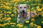 Thumbnail Labrador Retriever