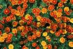 Thumbnail French Marigold quotEspana Red Mariethaquot Tagetes patula hybride