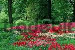 Thumbnail Bed of Tulips, Westfalenpark Dortmund, North Rhine-Westphalia, Germany