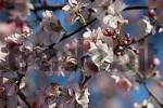 Thumbnail Cherry blossom Prunus x yedoensis