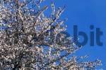 Thumbnail Cherry tree, blooming Prunus x yedoensis