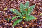 Thumbnail Common Male Fern Dryopteris filix-mas on forest soil, autumnal deciduouos forest