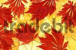 Thumbnail Norway Maple and Japanese Maple, autumn leaves Acer platanoides, Acer japonicum