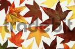 Thumbnail Autumn leaves of Sweet Gum Tree Liquidambar styraciflua pendula
