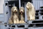 Thumbnail Three Bearded Collies