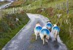 Thumbnail Sheep on a country road near Kilmichael, Ireland, Europe