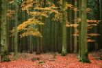 Thumbnail Beech trees Fagus in a conifer forest, Germany, Europe