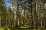 Thumbnail Coniferous forest, Gauja National Park, Riga, Latvia, Baltic States, Northeastern Europe