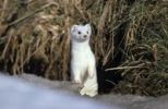 Thumbnail Ermine, stoat or short-tailed weasel Mustela erminea with winter coat
