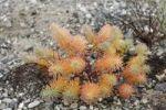 Thumbnail Cypress Spurge Euphorbia cyparissias, gravel bank, Isar wetlands, Bavaria, Germany, Europe