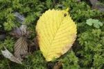 Thumbnail Autumnal leaf of a Wych Elm Ulmus glabra on moss, Bavaria, Germany, Europe