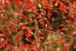 Thumbnail Autumnal leaves of a Rockspray Cotoneaster Cotoneaster horizontalis, Bavaria, Germany, Europe