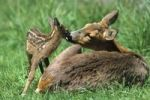 Thumbnail Roe deer with a few days old fawn Capreolus capreolus