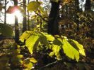 Thumbnail Leaves of a Common Beech Fagus sylvatica, Isar river floodplain near Geretsried, Bavaria, Germany, Europe