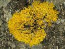Thumbnail Common orange lichen Xanthoria sp. on bark, Bavaria, Germany, Europe