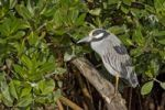 Thumbnail Yellow-crowned Night Heron Nycticorax violaceus, Florida, USA